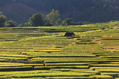 Rice terraces,chiang mai,thailand Stock Image