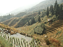 Rice terraces in china Royalty Free Stock Image