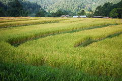 Rice terraces. Cultivated rice terraces in steep mountain. Using a water diversion locals stock photo
