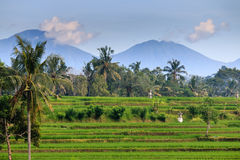 Rice terraces and distant volcanos Royalty Free Stock Images