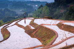 Rice terraces and girl Royalty Free Stock Images