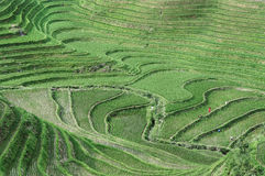 Rice Terraces, Guilin, China Stock Image