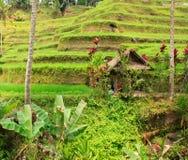 Rice terraces. Stock Photos