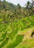 Rice terraces. Royalty Free Stock Photography