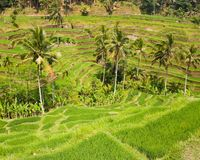 Rice terraces. Royalty Free Stock Photo