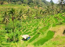 Rice terraces. Royalty Free Stock Photos