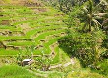 Rice terraces. Stock Image