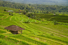 Rice terraces of Jatiluwih, Bali. Rice terraces of Jatiluwih, green field and hut, Bali royalty free stock photos