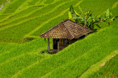 Rice terraces of Jatiluwih, Bali. Rice terraces of Jatiluwih, green field and hut, Bali royalty free stock photo