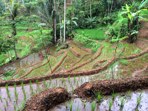 Rice terraces in Java, Indonesia Stock Image