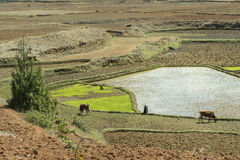 Rice terraces landscape in Madagascar Royalty Free Stock Photography