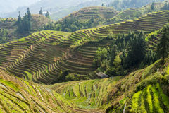 Rice terraces in Longsheng, China Royalty Free Stock Images