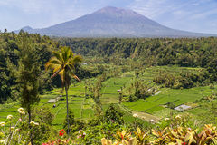 Rice terraces with Mount Agung in background, Bali,  Indonesia Stock Photography