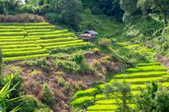 Rice terraces on a mountain, and there is a hut in the middle of the rice field. S Royalty Free Stock Image