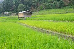 Rice terraces on a mountain, and there is a hut in the middle of the rice field. S Stock Photography