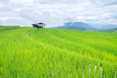 Rice terraces on a mountain, and there is a hut in the middle of the rice field. S Royalty Free Stock Photo