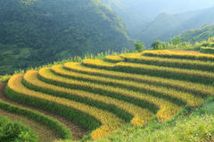 Rice terraces in the mountains Royalty Free Stock Images
