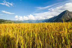 Rice terraces in the mountains. In Sapa, Vietnam Royalty Free Stock Images