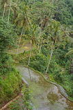 Rice terraces near Gunung Kawi temple, Bali island Stock Images