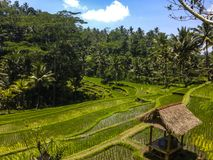 Rice Terraces - Bali, Indonesia. Rice Terraces near Gunung Kawi Temple on Central Bali Royalty Free Stock Photos