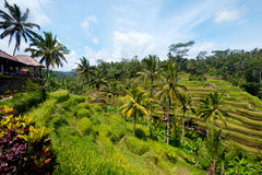 Rice Terraces near Ubud, Bali, Indonesia Royalty Free Stock Photo