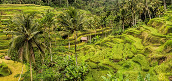 Rice terraces near Ubud, Bali, Indonesia Royalty Free Stock Images