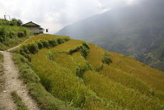 Rice terraces, Nepal. Nepalese house above rice terraces. Nepal Himalayan scene taken whilst trekking around the Annurpurna Circuit + Sanctuary trek Royalty Free Stock Photos