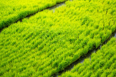 Rice terraces in the Philippines. The rice crops. Rice cultivati Stock Photography