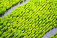 Rice terraces in the Philippines. The rice crops. Rice cultivati Royalty Free Stock Photo