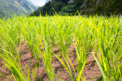 Rice terraces in the Philippines. The rice crops. Rice cultivati Royalty Free Stock Image