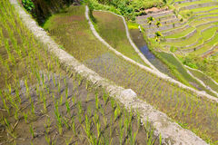 Rice terraces in the Philippines. Rice cultivation in the North. Of the Philippines, Batad, Banaue stock images
