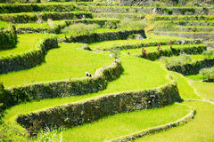 Rice terraces in the Philippines. Rice cultivation in the North. Of the Philippines, Batad, Banaue. Farmer planting rice stock photo