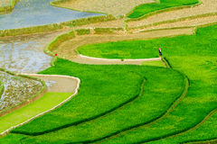 Rice terraces at planting season. Ethnic farmers grow rice on terraces on mountains, making very nice landscape.nLocation: Mu Cang Chai, Vietnam Royalty Free Stock Image