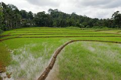 Rice terraces and rice cultivation in Sri Lanka. The Rice terraces and rice cultivation in Sri Lanka Royalty Free Stock Image