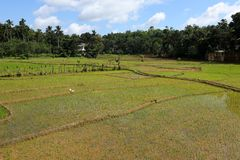 Rice terraces and rice cultivation in Sri Lanka. The Rice terraces and rice cultivation in Sri Lanka Royalty Free Stock Photos