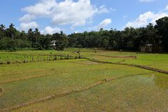 Rice terraces and rice cultivation in Sri Lanka. The Rice terraces and rice cultivation in Sri Lanka Stock Images