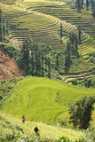 Rice Terraces on a river valley 2. This photo is from Sapa, Vietnam.  The terraces are used to grow rice.  The golden colour shows that it's harvest time Royalty Free Stock Photos