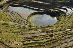 Terraced rice fields in Sapa, Vietnam Royalty Free Stock Image