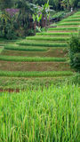 Rice terraces in Sapa Valley, Vietnam Royalty Free Stock Photography