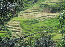 Rice terraces of Tana Toraja in Sulawesi Royalty Free Stock Photo