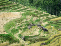 Rice terraces of Tana Toraja in Sulawesi Royalty Free Stock Photography