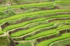 Rice Terraces. At Tegalalang, Bali Island, Indonesia Stock Photos
