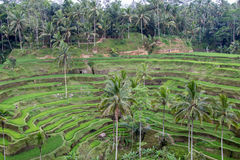 Rice Terraces. At Tegalalang, Bali Island, Indonesia Stock Photo