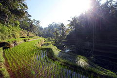 Rice terraces in Tegallalang, Bali, Indonesia Stock Photography