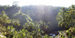 Rice terraces in Tegallalang, Bali, Indonesia Royalty Free Stock Photo