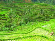 Rice terraces in Tegallalang, Bali, Indonesia Royalty Free Stock Photos