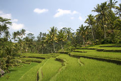 Rice terraces ubud bali indonesia Royalty Free Stock Image