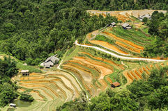 Rice Terraces in Vietnam Royalty Free Stock Image