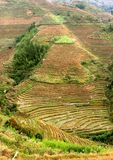 Panorama of rice terraces in autumn, Longsheng, Longji,China Royalty Free Stock Image