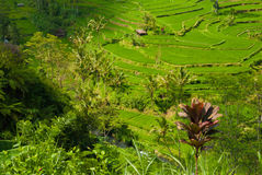 Rice terraces of the volcano Agung. Royalty Free Stock Images